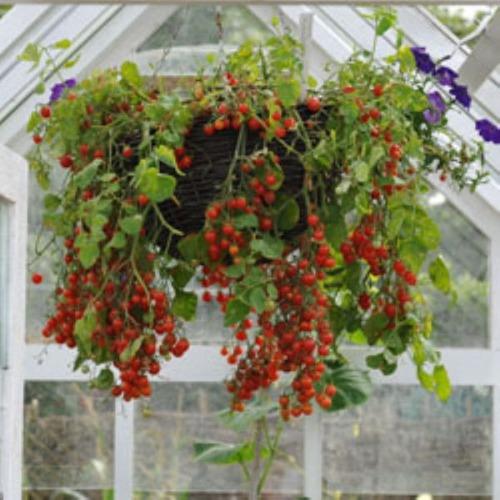 Favoritos Tomate Cereja Samambaia Red Sementes Flor Pra Mudas - R$ 9 en  JI87