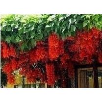 100 Sementes Trepadeira Jade Vermelha