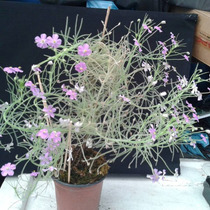 Plantas Carnívoras - Byblis Guehoi   Muda