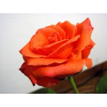 10 Mudas De Rosas Enxertadas (coloridas Diversas)