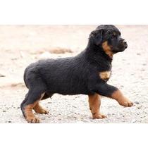 Adestramento Cães Adulto Ou Filhote