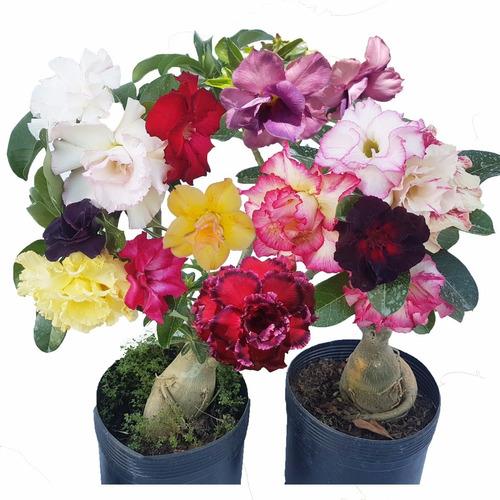 Rosa Do Deserto Mix Adenium  Flor Para Mudas Frete Gratis