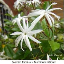 Mudas De Jasmim Estrela Por 32,00 Com Flores