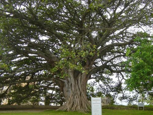 30 Sementes De Gameleira Ficus Gamelleira Figueira Branca