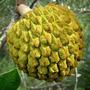 Mudas De Marolo Ou Cabeça-de-negro - Annona Crassiflora