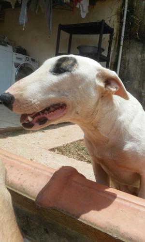 Bull Terrier Femea Matriz Pedigree