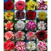 20 Sementes De Rosa Do Deserto Rara Adenium Obesum + Brinde