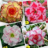 Rosa Do Deserto - 20 Sementes De Rosa Deserto - Frete Grátis