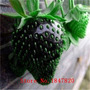 Morango Exótico Preto 30 Sementes