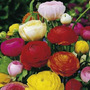 Ranunculus Asiático Sementes
