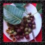 Figo - Ficus Luschnathiana - Sementes Fruta P/ Muda E Bonsai