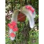 Cacto Cauda De Macaco Cleistocactus Winteri Sementes P/ Muda