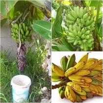 Kit Super 3 Bananas Anã Jardim Ouro E Pão Rizomas Mudas