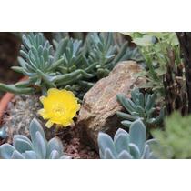 100 Sementes Cactos Acanthocalycium Brevispinum