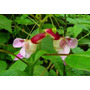 Semente De Flor De Orquidea Papagaio