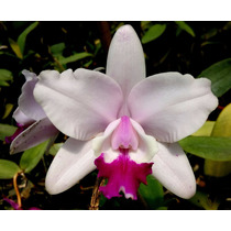 Cattleya Intermedia Tipo Boa Forma - Corte Adulto