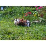 Filhote Mini Porco Fêmea - Excelente Linhagem