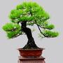 Pinheiro Negro Para Bonsai Pinus Thunbergii 10 Sementes