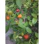 Mudas De Pitanga Anã Família: Myrtaceae,