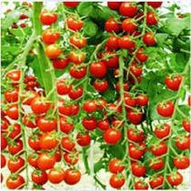 Sementes De Tomate Samambaia P Mudas, Vasos, Hortas + Brinde