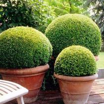 Sementes Buxinho Buxus Sempervirens Bonsai Jardins P/ Mudas