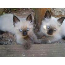 Filhotes De Gato Siamês Legítimos Olhos Azuis