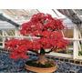 Sementes Acer Palmatum, Saccharum E Ginnala-árvore Ou Bonsai