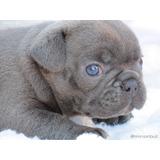 Bulldog Frances Filhote Macho  Blue Canil Minion Bull