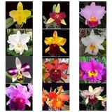16 Mudas Orquídea Cattleya Variadas
