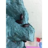 Barata De Madagascar Gromphadorhina Portentosa: Ninfas 5 Un