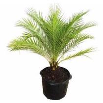 Muda Palmeira Fênix Anã