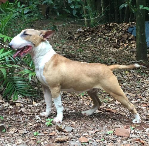 Filhote Jovem Bull Terrier Com Pedigre Canil Condado Do Bull
