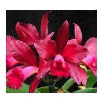 C Orquídea Cattleya Blc. Bruno Bruno Adulta
