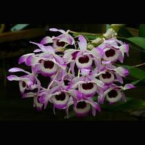 Muda De Orquídea, Dendrobium Rara, Facil Cultivo, Lindíssima