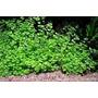 Micranthemum Umbrosum - Planta Para Aquario Ou Lago 4 Maços