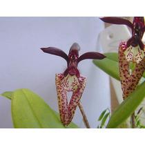 C Orquídea Bulbophyllum Laseochyllum Adulta