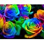 Sementes De Rosas Arco-íris -