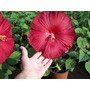 Sementes Hibisco Gigante Hibiscus Moscheutos Vermelho P/muda