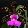 Orquídea Espécie Pura Cattleya Aclandie (toquinho) + Brinde! Original