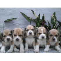 Filhotes De Beagle Filhotes Machinho .tricolor E Bicolor ..