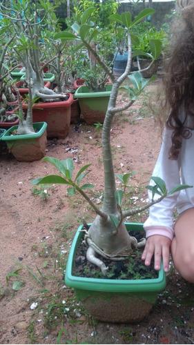 1 Rosa Deserto, Rara, Adenium Socrotanum, Gigante 5 Kg