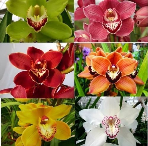 Super Promoção Kit 12 Mudas De Orquídea Cymbidium De Frio