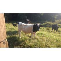 Mini Vaca/ Mini Boi