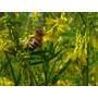 Sementes De Melilotus Officinalis ( Amarelo ) - Abelhas