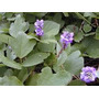 Pueraria (kudzu Tropical) 3kg Sementes Leguminosa Proteína
