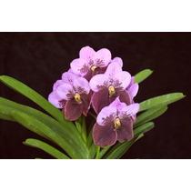 27 Orquídeas Adultas Vanda Cattleya Ascocenda Brassia Dendro