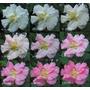 Sementes Flor Hibiscus Mutabillis Rosa Louca P/ Mudas Rosa