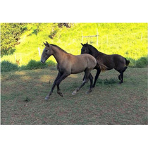 Cavalo Potro Puro Sangue Lusitano Registrado E Chipado