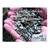 30 G De Ovos De Artêmia Sem Casca + Espuma Protetora