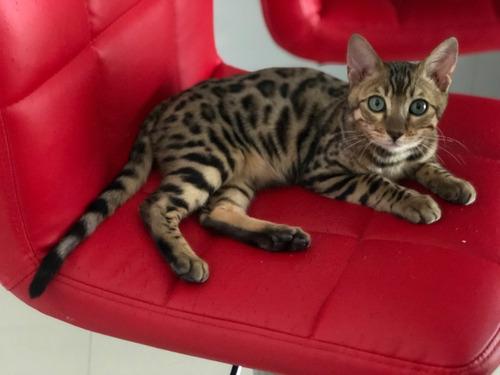 Gatos Bengals Machos Castrado Com Pedigree -goldens City
